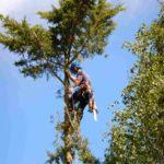 tree surgery on a large tree in oxford