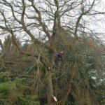 tree surgeon on large tree